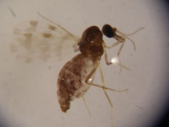 Identification key for insects of Culicoides genus present in Portugal